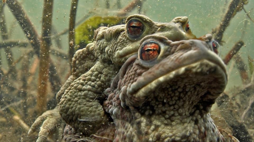 Ein Grasfrosch schaut aus dem Wasser