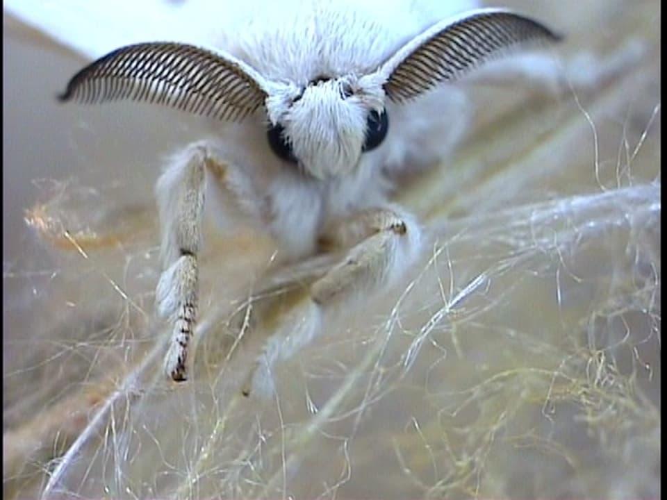 Kurzes Leben: Dieser Schmetterling veränderte die Welt.