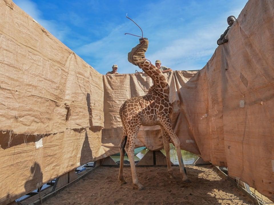 «Rettung einer Giraffe»