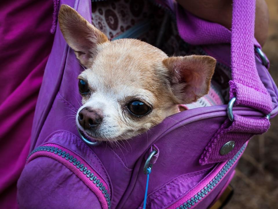 Wie klein muss ein Chihuahua sein, damit er in die Handtasche passt?