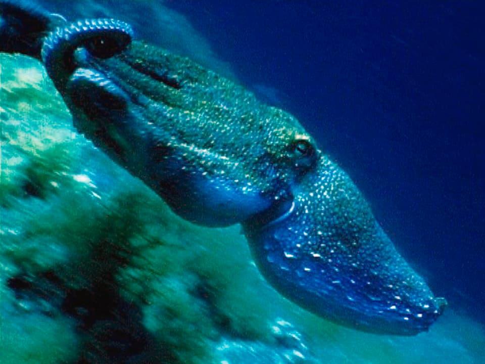 Intelligenzbestie: Der Octopus lernt schnell und öffnet für einen Leckerbissen auch mal ein Einmachglas. (Octopus unter Wasser)