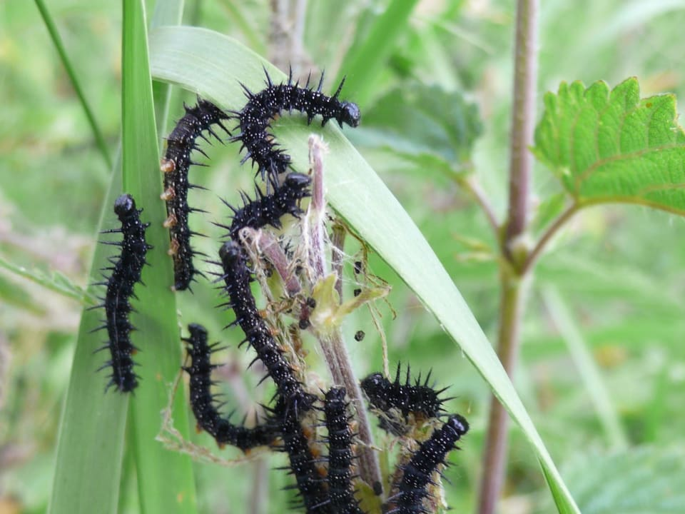 Raupen des Tagpfauenauges sitzen auf einer fast komplett abgefressenen Brennnesselpflanze.