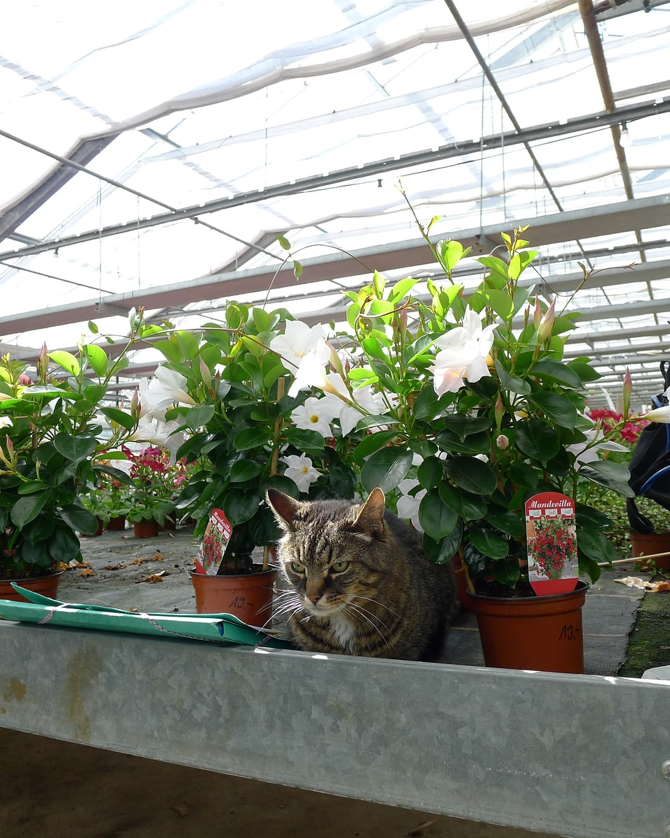 Die Tigerkatze Zora ist fast nicht sichtbar zwischen den Töpfen im metallenen Pflanzenbehälter im Gewächshaus.