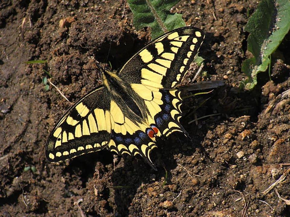 Schmetterling, gelb, schwarz