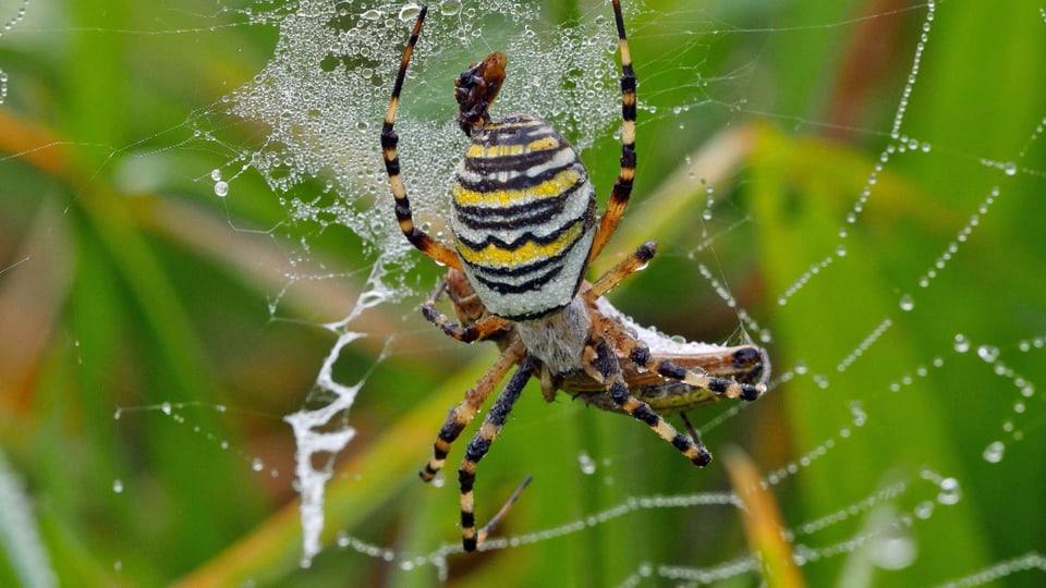 Eine Wespenspinne mit Beute im Netz.