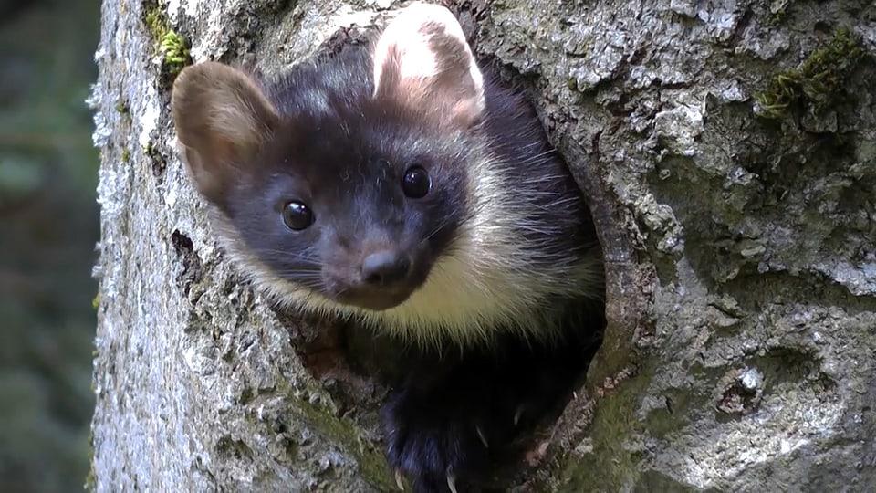 Baummarder schaut aus einer Baumhöhle.