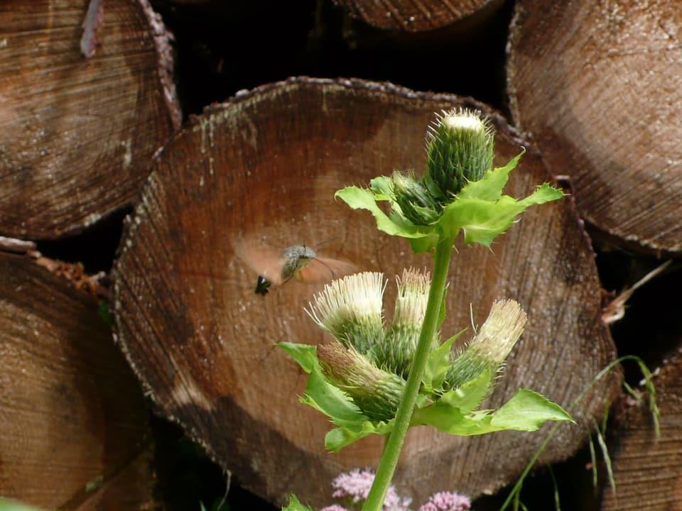 fliegender Schmetterling an einer Distel vor Holzbeige