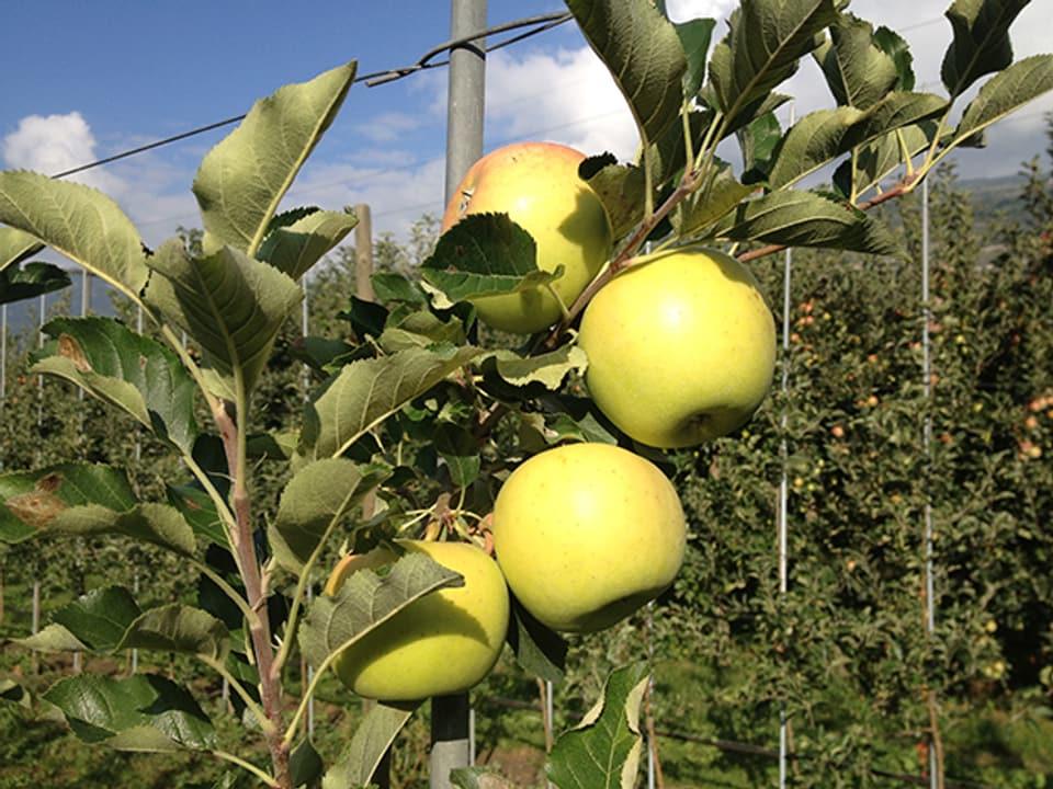 Gelbe Äpfel am Ast.