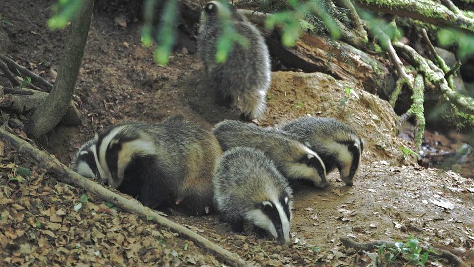 Dachsfamilie schnuppert vor der Höhle.