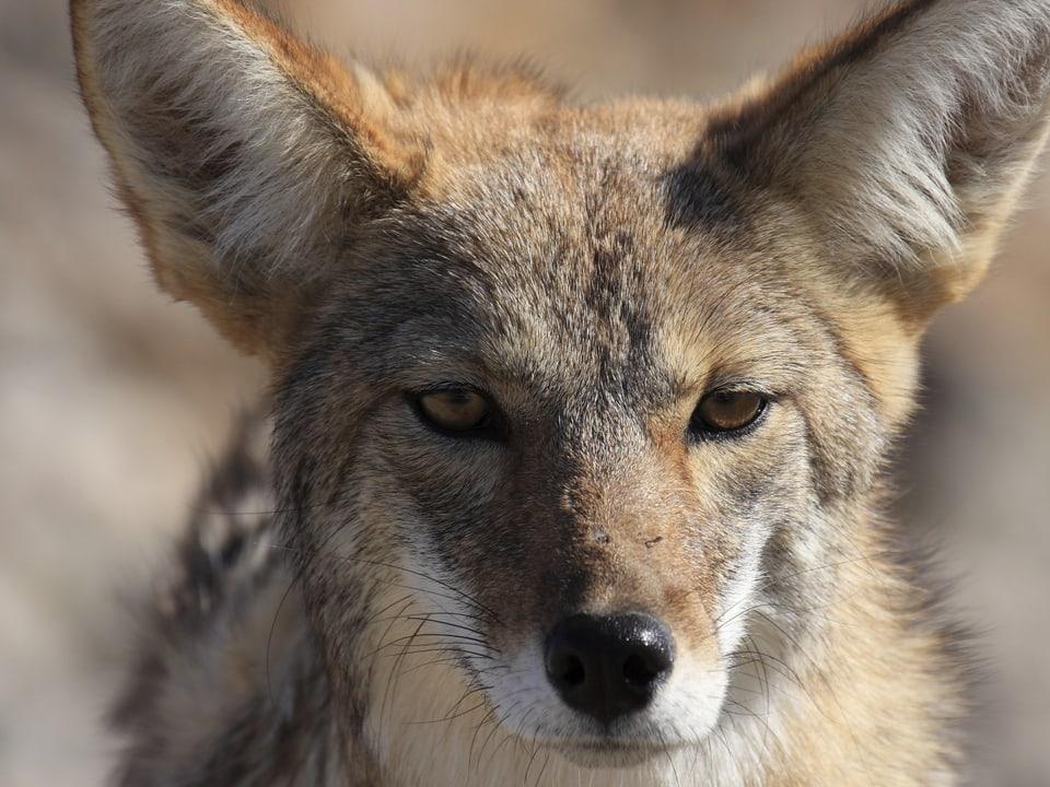 Schlau, trickreich, gewitzt: Diese Fähigkeiten zeichnen den Kojoten aus (Grossaufnahme frontal von Kojoten)