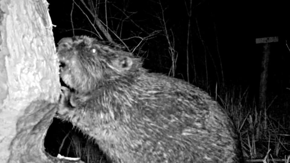 Big Brother bei den Bibern: Infrarot-Kameras geben Einblick in das spannende Nachtleben der Biber. (Ein Biber nagt an einem Baum)
