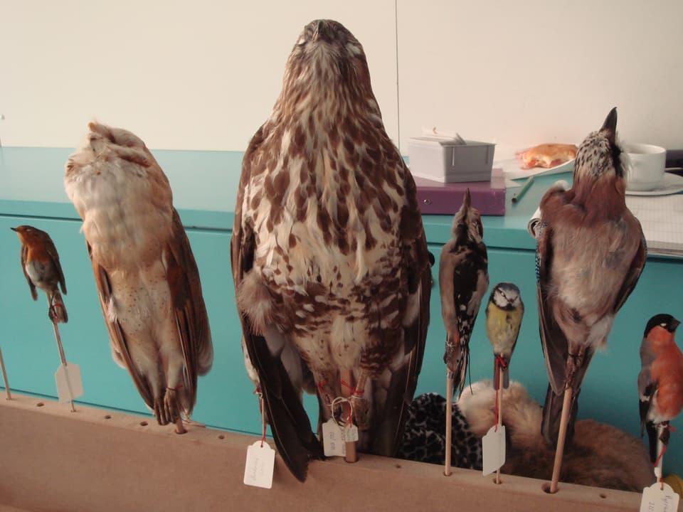 Ausgestopfte Vögel