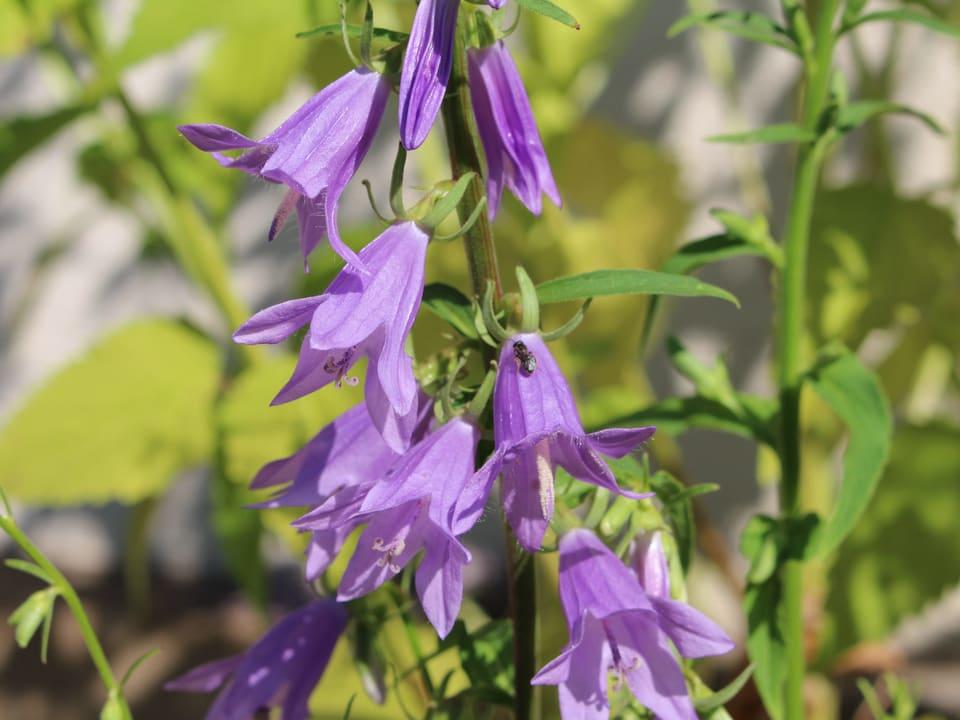Lila Glockenblümchen, darauf eine kleine Biene.