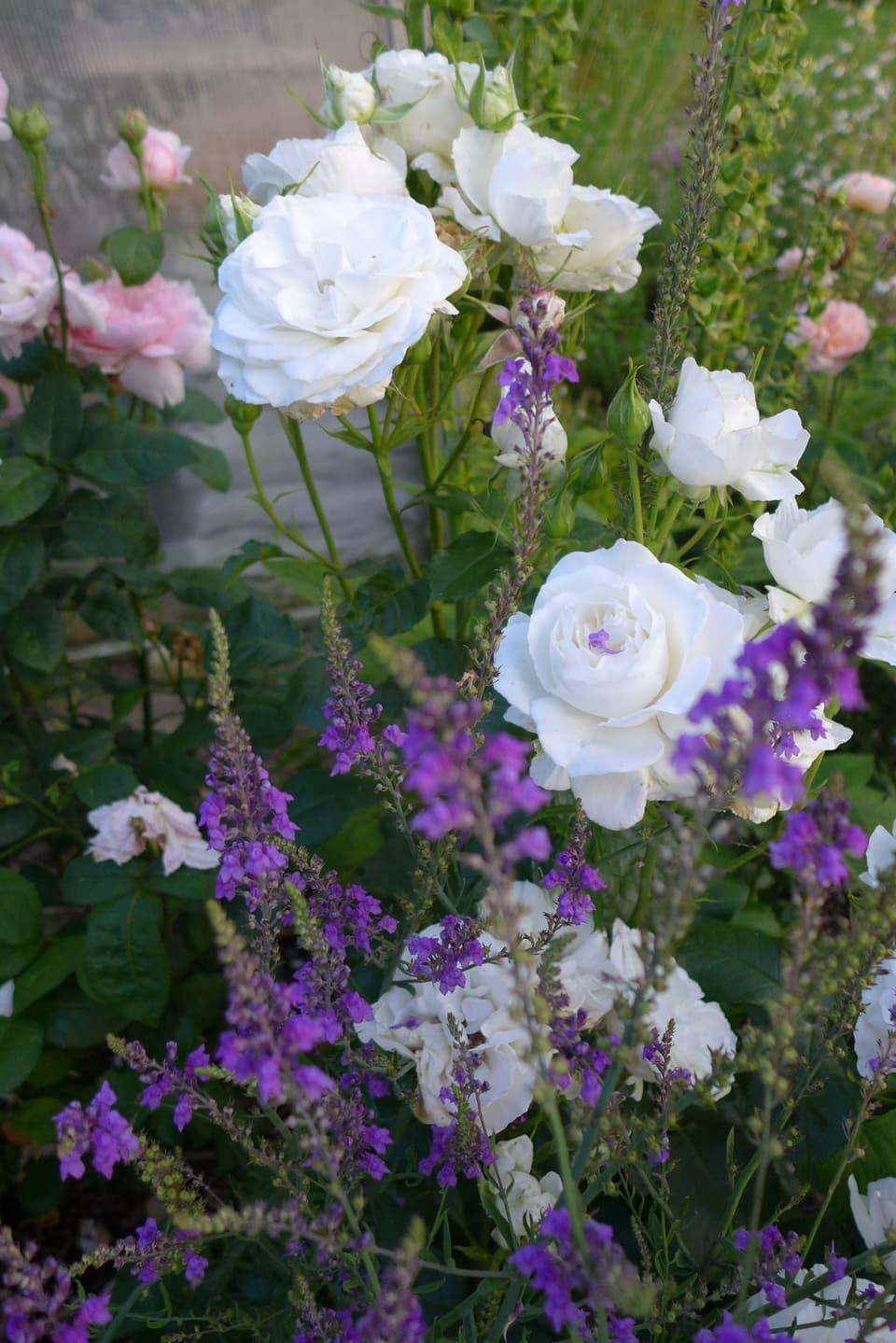 weisse Rosen, violette Sträucher