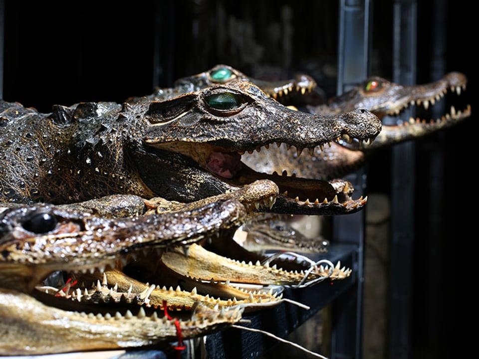 Verschiedene Krokodile aufgereiht im Museum.