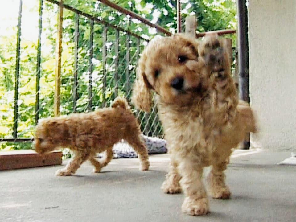 Spiel mit mir! Die Spieleinladung junger Hunde ist für jeden zu verstehen. (Hund hebt Pfötchen)