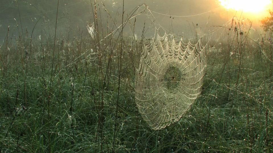 Spinnenzauber: Der Tau macht im Morgenlicht tausende Netze sichtbar. (Ein Spinnennetz wird von der Morgensonne beschienen)