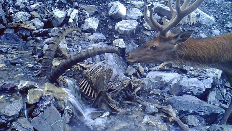 Hirsch schnuppert an Horn von einem totem Steinbock