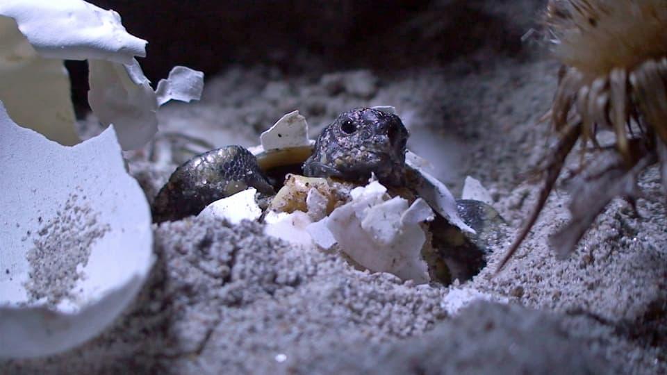 Schildkröte schlüpft aus Ei