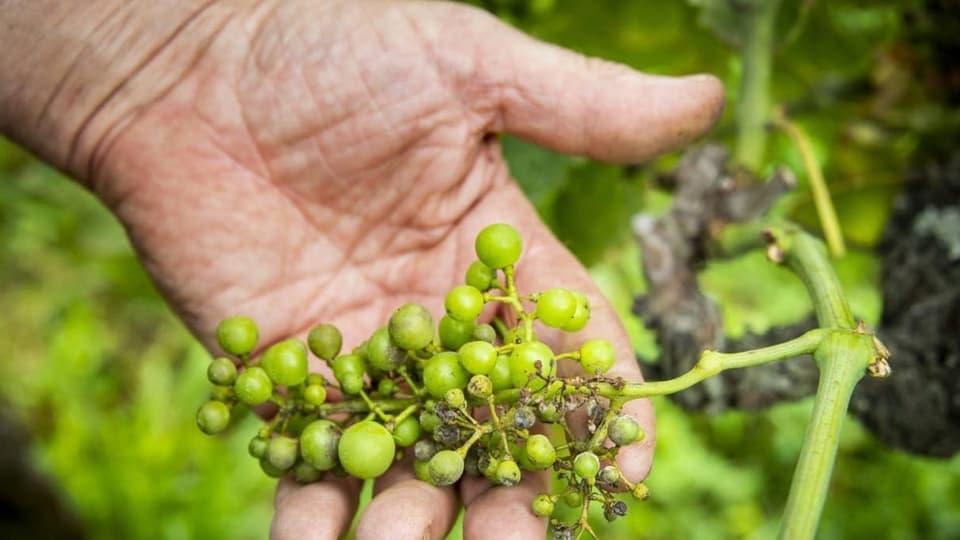 Blera plievgia chaschuna problems tar ils viticulturs