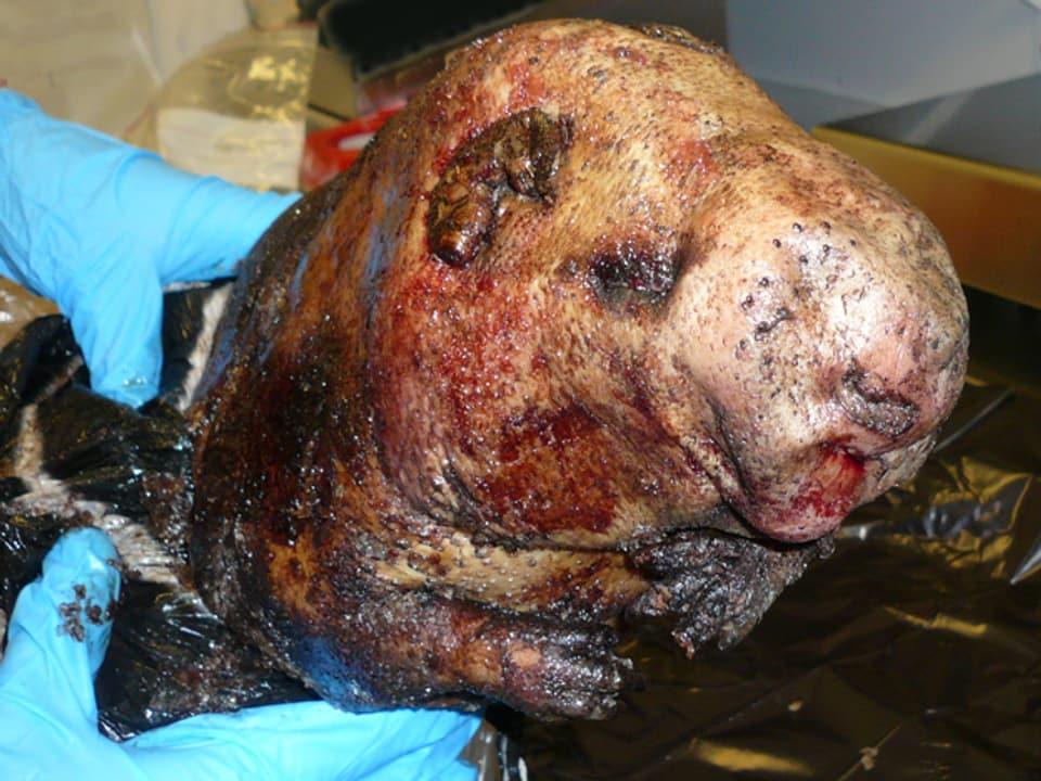 Der Pardelroller sieht einer Raubkatze oder einem Hund ähnlich - selbst dann, wenn er notdürftig geräuchert wurde.