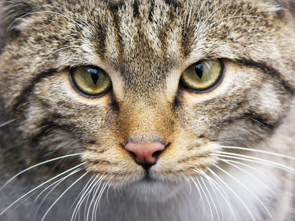 Schön wild: Wildkatzen sind Hauskatzen äusserlich sehr ähnlich, aber in der Art doch völlig anders.