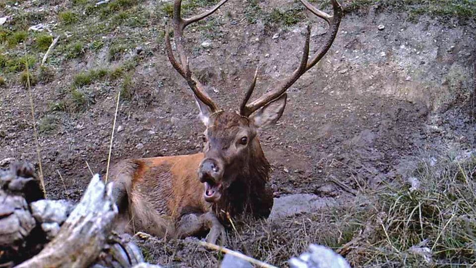 Die Kamera filmt die Lust des Hirsches in der Suhle –auch seinen indiskreten Rülpser. (Hirsch liegt in Suhle und rülpst in Kamera)