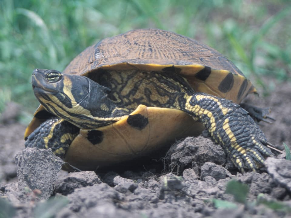 Gelbbauch-Schmuckschildkröte an Land