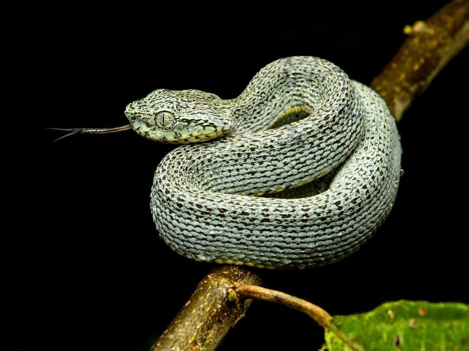 Gründe Schlange, die sich auf einem Ast oder Zweig herumtreibt und gerade züngelt.