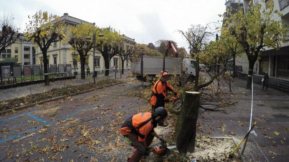 Eine vom Laubholzbockkäfer befallene Allee in Italien wird gefällt