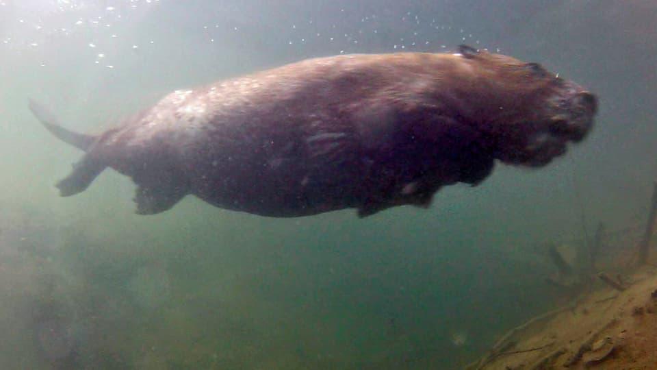 Für das Wasser geschaffen: Wer die Routen der Biber kennt, kann sie mit Unterwasserkameras filmen. (Biber schwimmt Unterwasser).