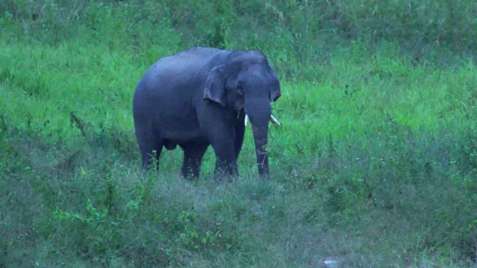 Wilder asiatischer Elefantenbulle mit kleinen Stosszähnen