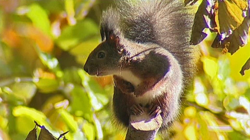 Zukunftsvision: Eichhörnchen haben die Fähigkeit das Futterangebot im nächsten Jahr vorauszusehen und vermehren sich dementsprechend stark (Eichhörnchen sitzt auf Ast).