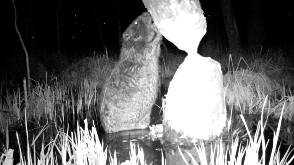 Holz fällen mit Risiko: Bruno Schelbert überwacht im Aargau ein Biberrevier mit selbstauslösenden Infrarotkameras. So wird das geheime Nachtleben der Biber sichtbar.