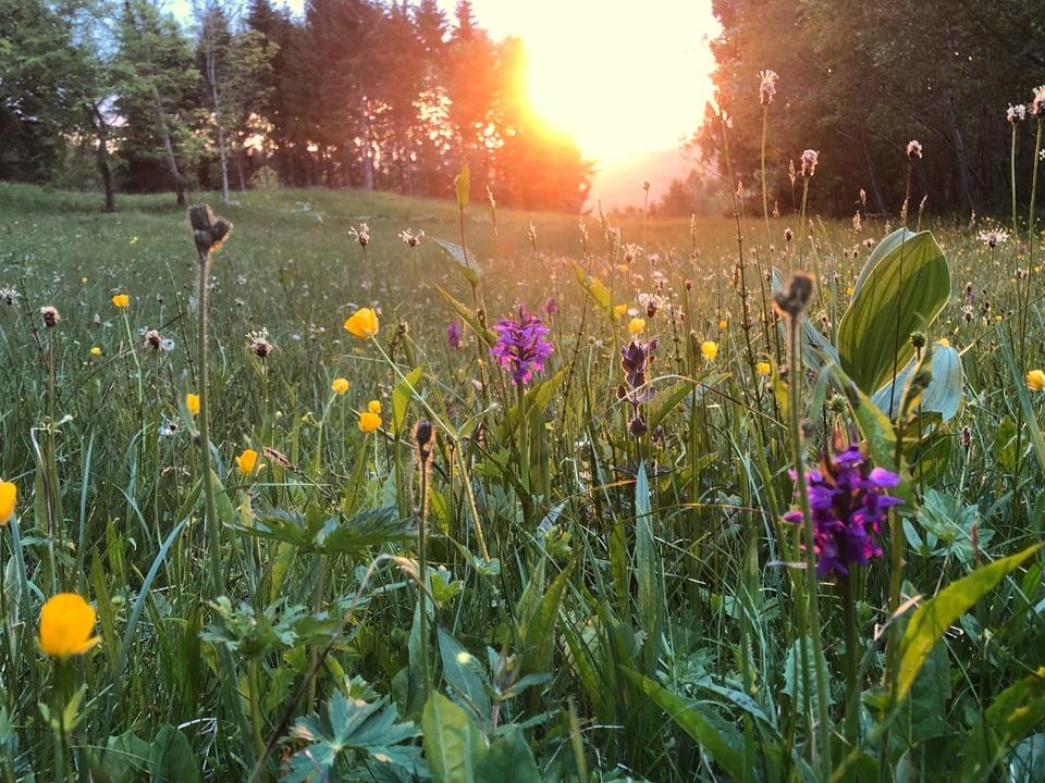 Orchideen und andere Moorpflanzen am Rand des Flachmoors «Sumpfweide» im Wilderenbüel mit Sonnenuntergang im Hintergrund.