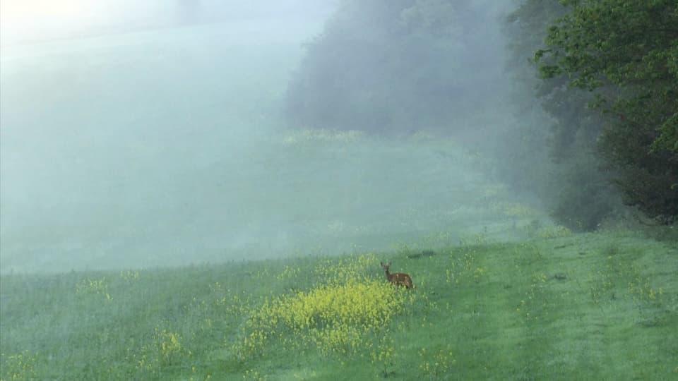 Reh steht am Waldrand vor Nebelwand.