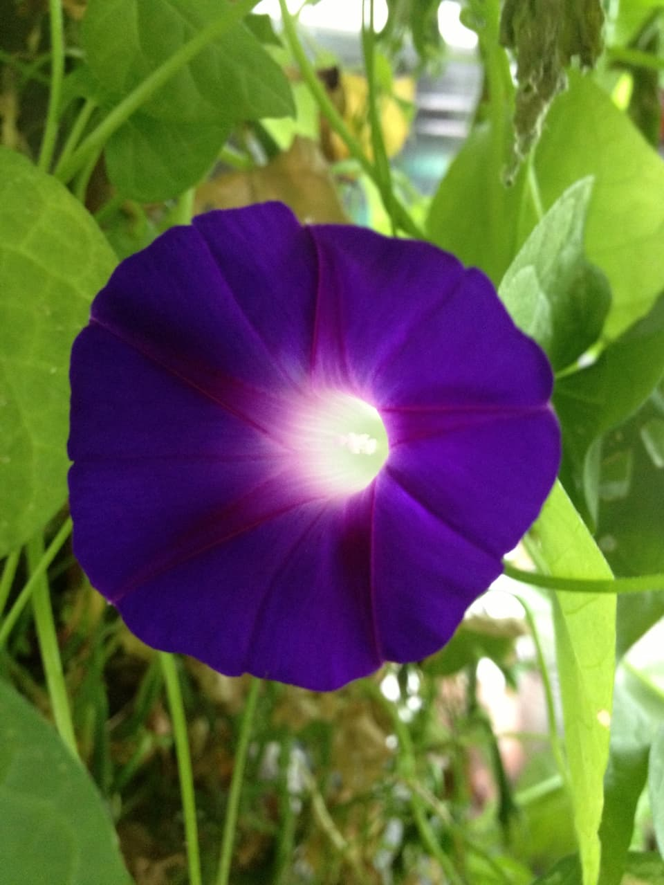 In starken und dunklen Violetttönen leuchtet einem eine Blüte der Prunkwinde entgegen.