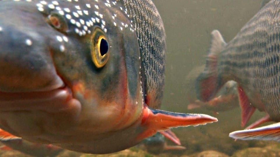 Liebestoll: Die Fische mit dem Namen Nase waren früher so zahlreich, dass man ihre Körper als Dünger nutzte. Heute ist es ein grosses Ereignis, wenn sich ein paar hundert Tiere zur Paarung treffen. (Zwei Fische schwimmen direkt auf die Kamera zu))