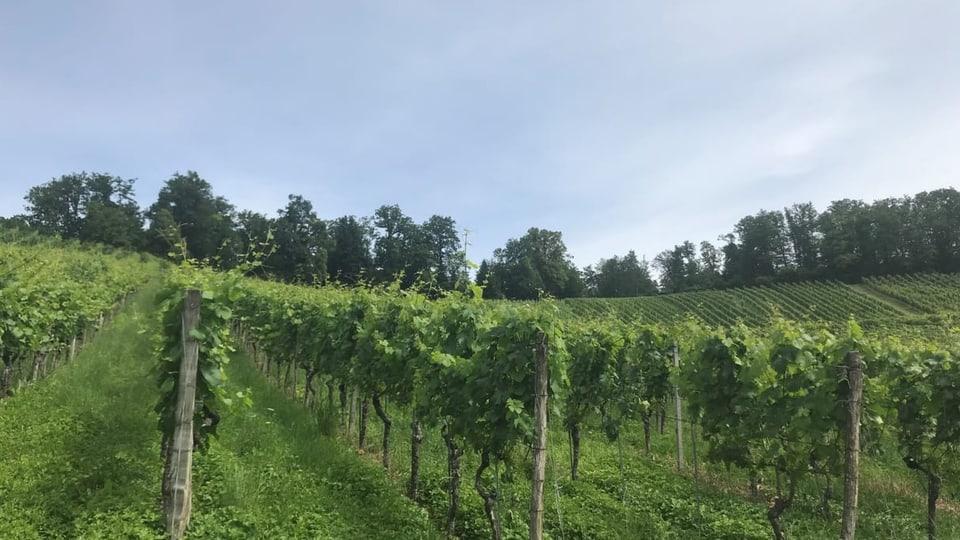 Sonnenschein gab es in diesem Sommer noch nicht viel - und das setzt den Weinbauern zu.