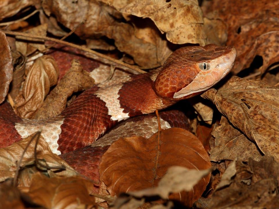 Perfekt getarnte Schlange inmitten von trockenen Blättern.