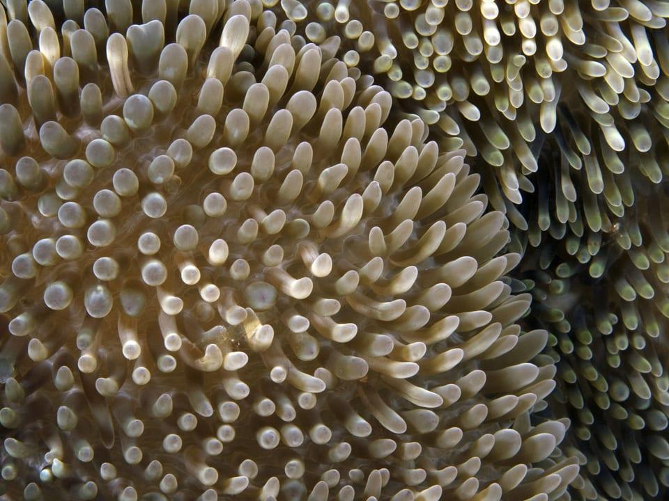 Nachaufnahme einer Seeanemone