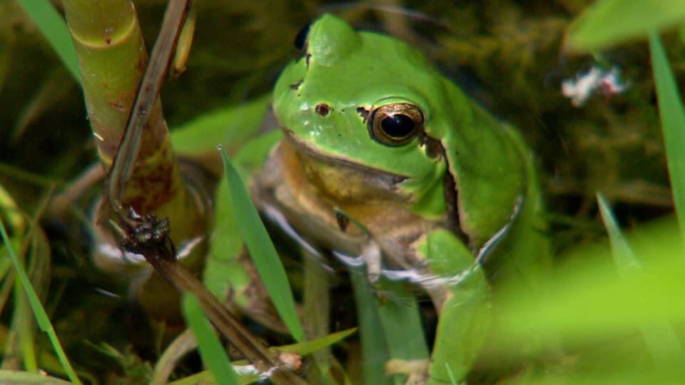 Bedrohter Sänger: Der Laubfrosch leidet besonders unter der Intensivierung in der Kulturlandschaft (Laubfrosch schaut aus Wasser)