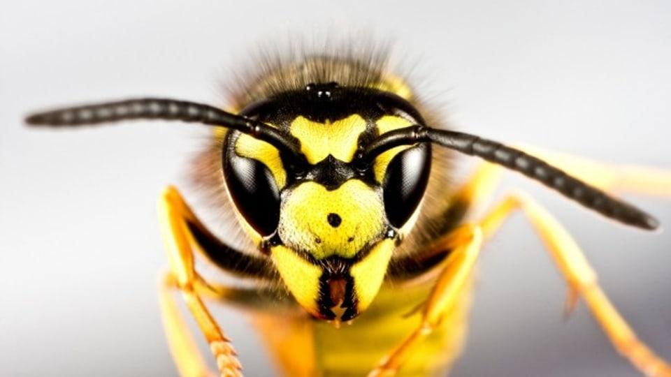 Alltag Umwelt Sommerzeit Wespenzeit Puls Srf
