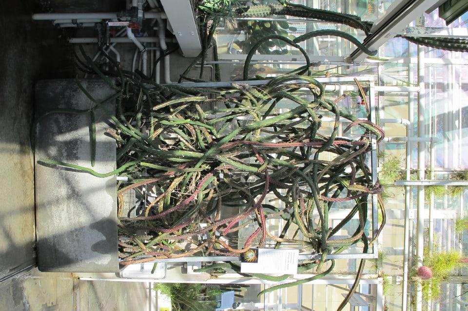 Ein Kaktus der sich um ein Gerüst schlängelt.