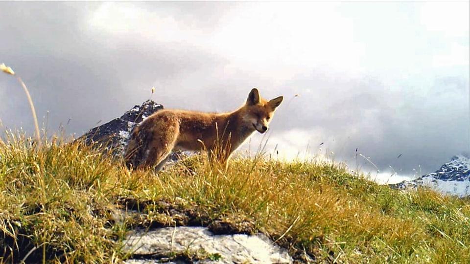 Fuchs: Hot Spot auf der Bergspitze – wer dort alles vorbei kommt! (Fuchs schaut von Bergspitze hinunter)