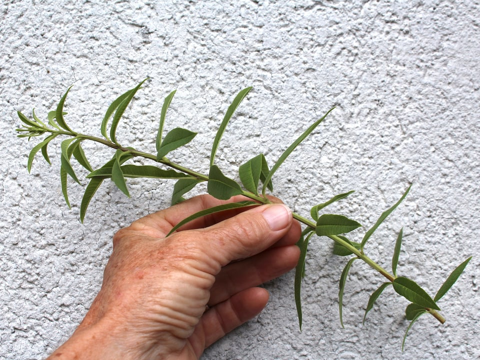 Ein Trieb von einer Pflanze.