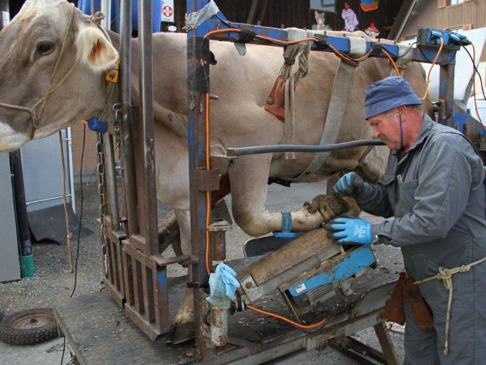 In einem Metallgestell steht eine Kuh, um deren Bauch leicht angelegt ein Gurt liegt. Der Klauenpfleger nimmt sich der Klaue des vorderen linken Beins an.