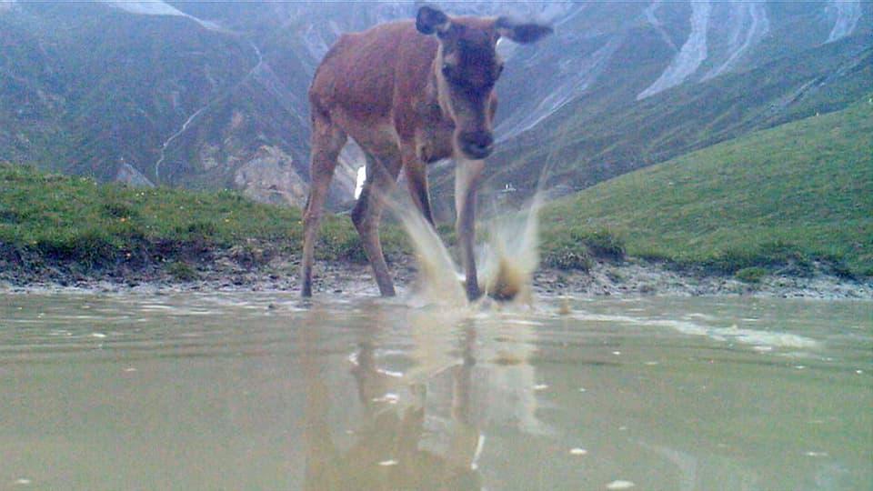 Hirschkalb sieht sich im Spiegelbild auf Wasseroberfläche, schlägt mit Huf immer weiter ins Wasser.