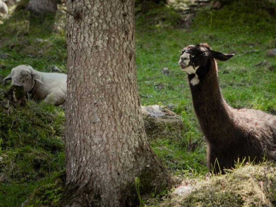 Lamas als Beschützer