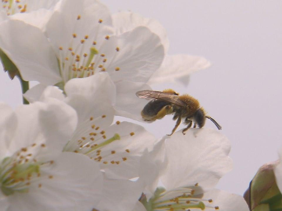 Eine Wildbiene landet auf einer Kirschblüte.